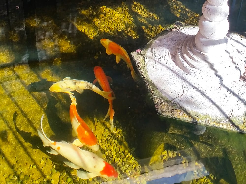 Koi pond at the Galiano Oceanfront Inn and Spa